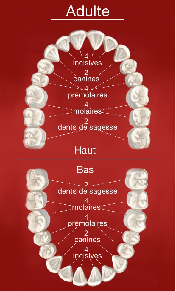 Dentition Adulte